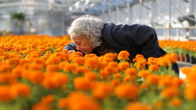 Una mujer huele las flores de cempasúchil.