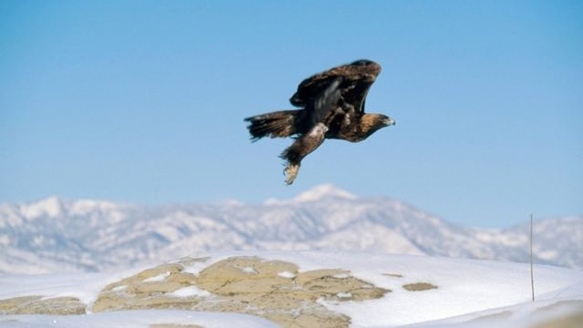 Golden eagle migration out of sync with climate change