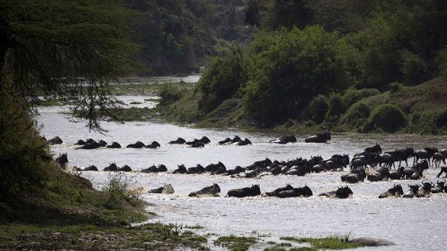 Nyumbu wakivuka mto kayika mbuga za Serengeti (Tanzania) na Masai Mara (Kenya) .