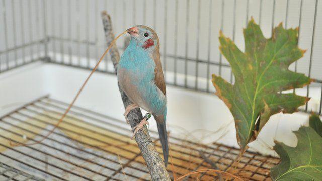 red-cheeked cordon-blue