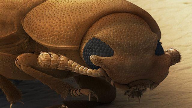 Besouro castanho visto sob microscópio