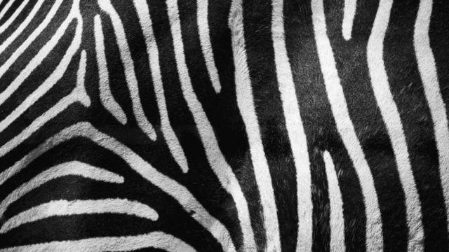 Zebra deseni