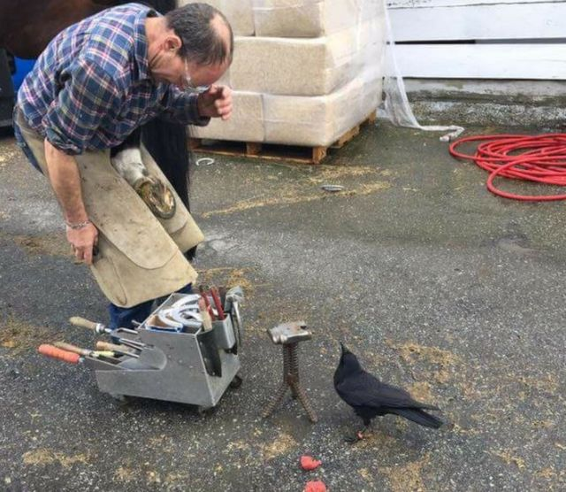 Canuck the crow's attacks halt Vancouver mail delivery