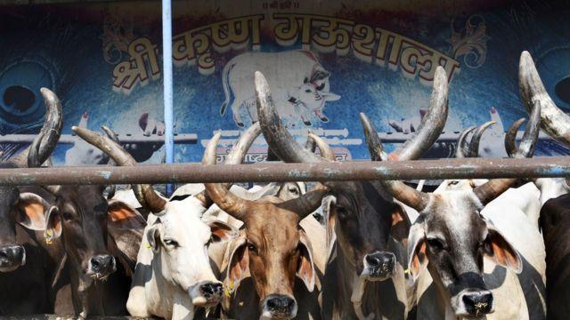 গরুকে দেবতা হিসাবে দেখে ভারতের হিন্দুরা