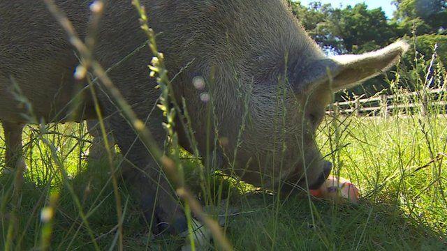Pig in sunshine