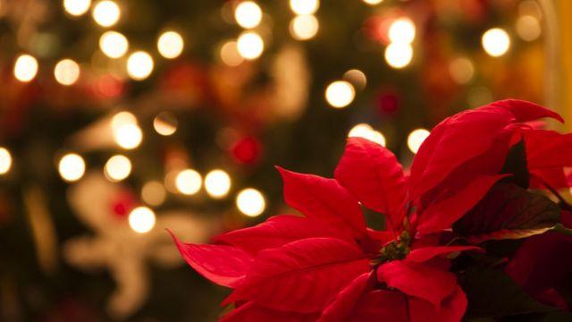Flor de nochebuena como arreglo navideño