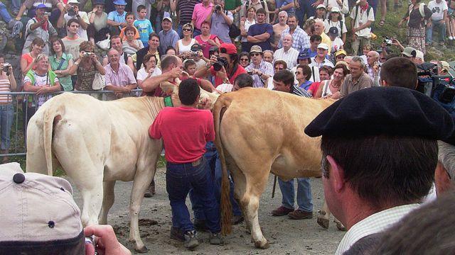 Un veterinario de Isaba, Navarra, debe comprobar que las reses están sanas.