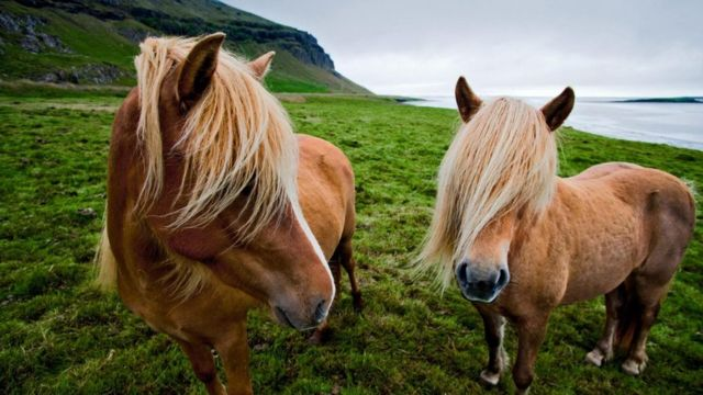 Ісландські поні