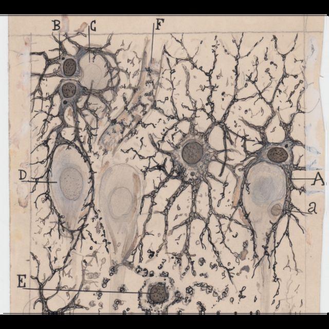 Astrocitos en el hipocampo del cerebro humano.