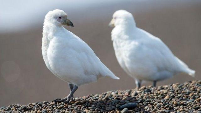 南極雪鞘嘴鷗有一層很厚的絨毛以保暖。