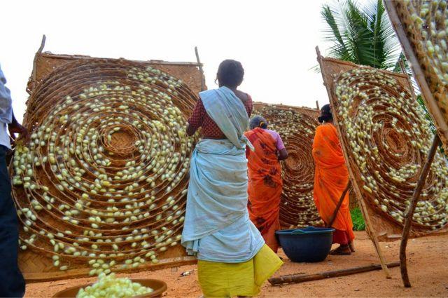 Mujeres recogiendo capullos de seda