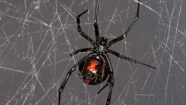 Black widow spider web gives up DNA secrets