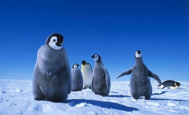 صغار طيور البطريق