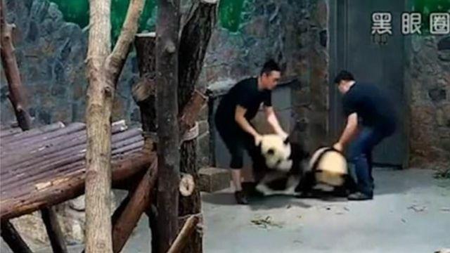 監視カメラの映像には、パンダの赤ちゃん2頭が乱暴に持ち上げられ振り回されている様子が映っていた