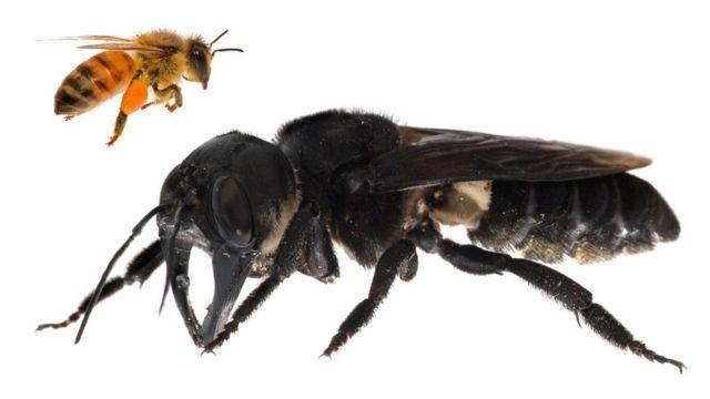 Lebah raksasa