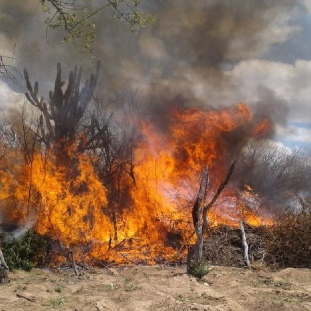 Plantação de maconha queimando em Pernambuco