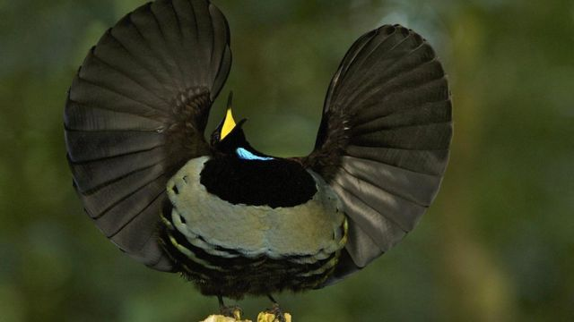У самца райской птицы уходит несколько лет на то, чтобы разучить свой танец