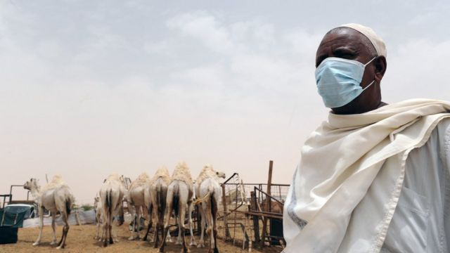 A Saudi amn wears a mouth and nose mask as he works near camels