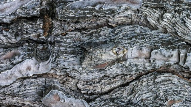 Древоточец пахучий (Cossus cossus)