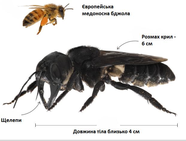 Гігантська бджола значно більша за звичну нам медоносну. Джерело: Університет Джорджії