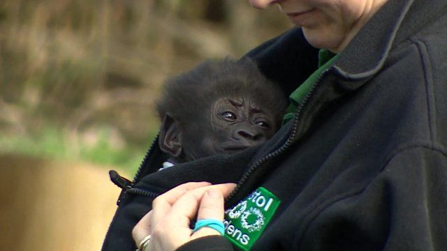 Baby Afia, who is being reared by humans