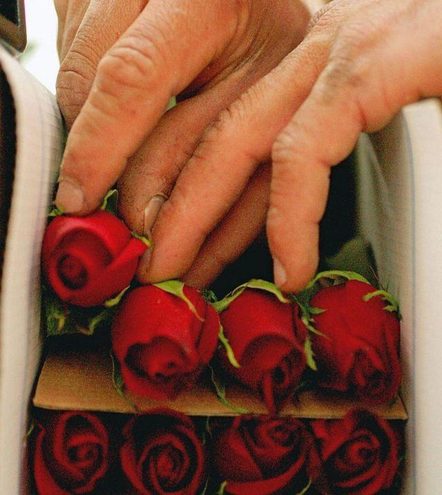 Manos empacando rosas para la exportación
