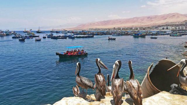 Pelícanos mirando a los barcos