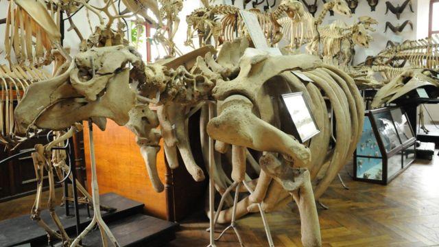 Скелет морської корови