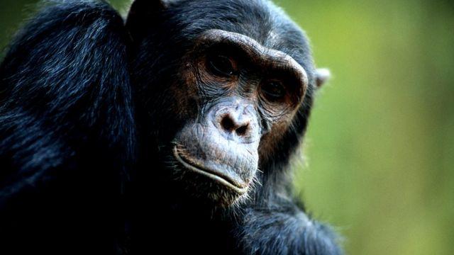 Chimpanzé no Parque Nacional das Montanhas Mahale, na Tanzânia