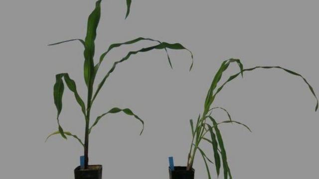 نباتات مستزرعة