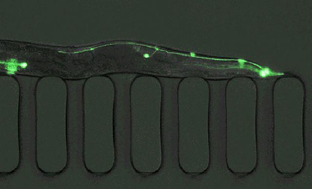 C. elegans atrapado dentro de una micrografía de luz fluorescente de laboratorio en un chip, una tecnología creada en MIT para clasificar, cribar y manipularlos a alta velocidad y gran volumen.