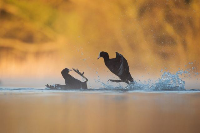 Two coots fight over water