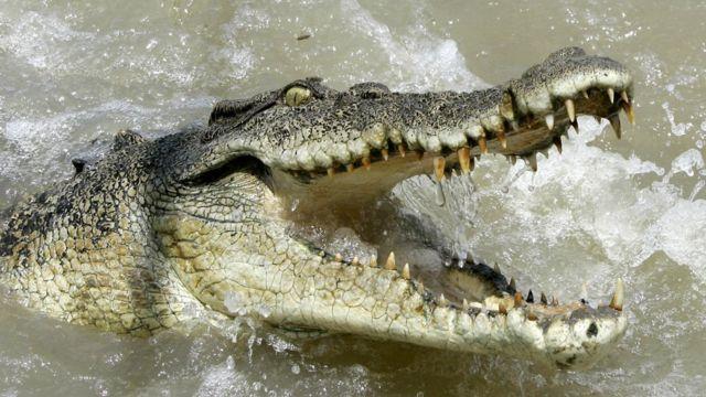 Crocodilos matam mais humanos do que tubarões