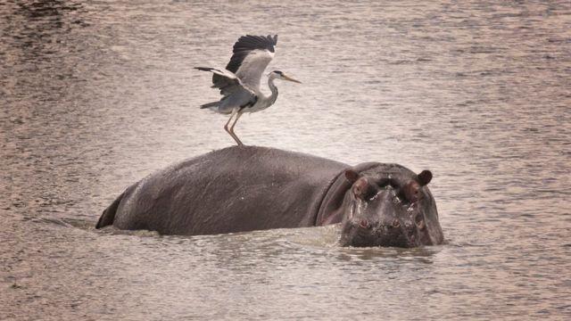 Garza real sobre hipopótamo
