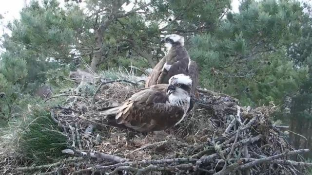 Perthshire osprey pair seal relationship with a fish