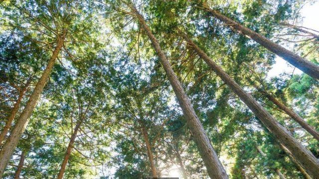 El árbol hinoki