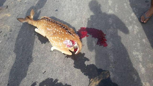 A deer hit by safari jeep