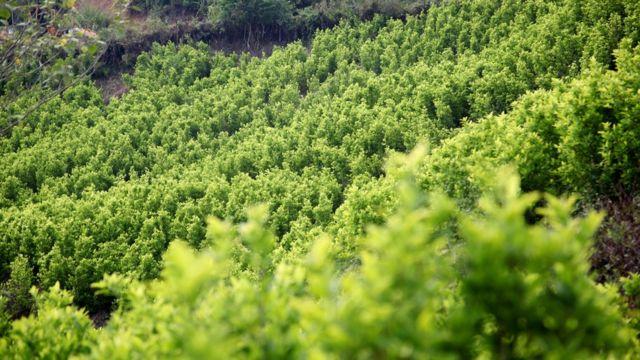 Cultivo de coca en el departamento del Cauca.