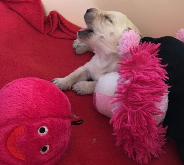 A yellow puppy yawns while partly buried under soft toys