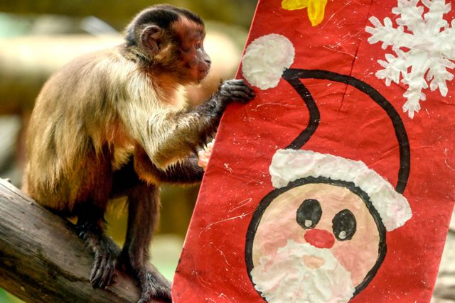 A capuchin monkey inspects a festive package at Cali Zoo