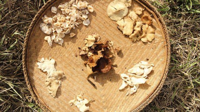 Cogumelo Sanöma