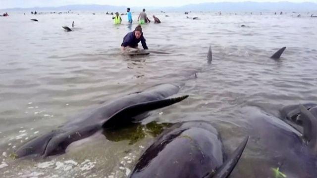 Konüllülər özünü sahilə atan balinaları xilas edirlər