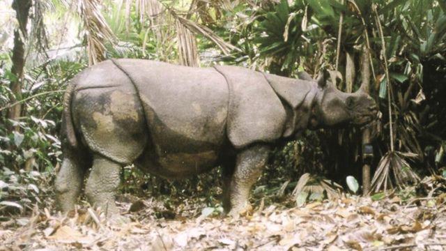 javanski nosorog