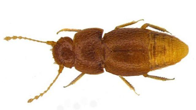Besouro N. gretae