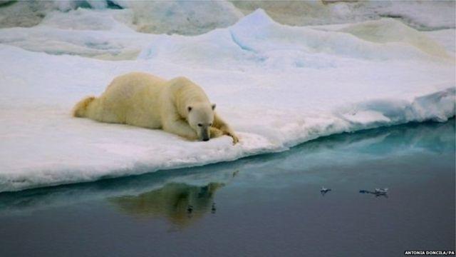 ग्रीनलँडमधील पांढरे अस्वल