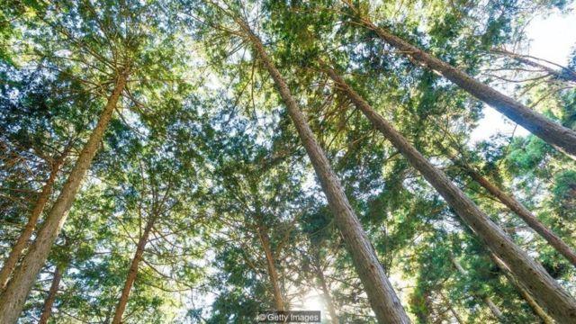 जापान के ये पेड़ भविष्य बता सकते हैं