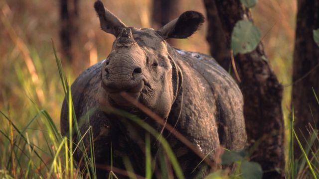 носоріг