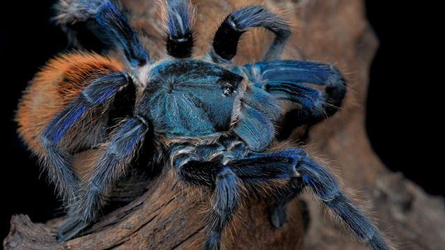 Tarantulas evolved blue colour 'at least eight times'
