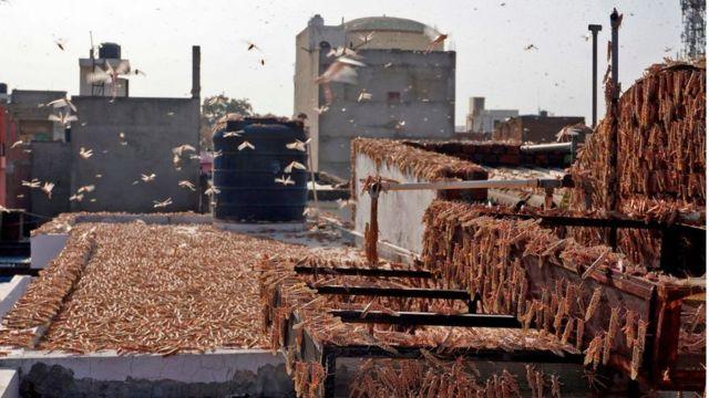กองทัพตั๊กแตนบนหลังคาที่พักอาศัยในเมืองชัยปุระ รัฐราชสถาน ของอินเดีย เมื่อเดือน พ.ค.