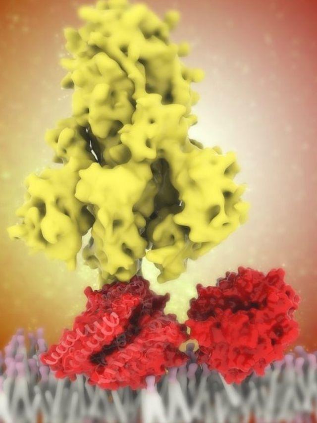 ویروس کرونا با پروتئین خارمانند خود (زرد) به گیرنده آنزیم ۲ مبدل آنژیوتانسین سلول (قرمز) میچسبد